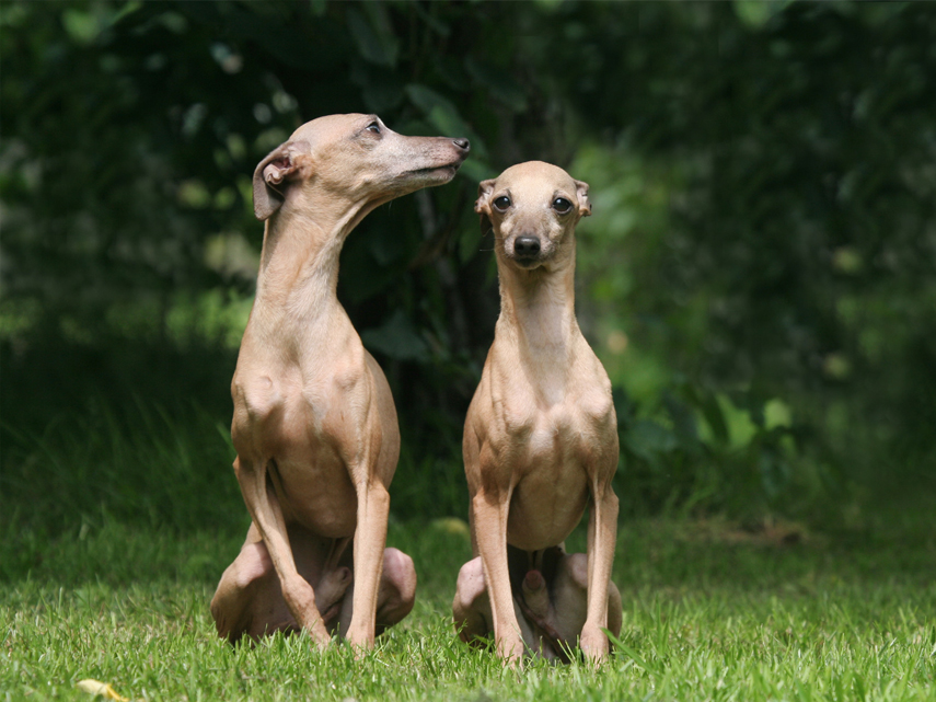 Kimberly, Dildine, greyhound, dog, breeder, kim-dildine, kennel, puppy, for sale, willow springs, mo, missouri, usda